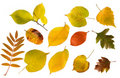 Set Of Different Autumn Leaves Isolated Royalty Free Stock Photography - 16771047