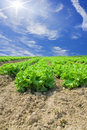 Lettuce And Vegetable Field Stock Photos - 16785393