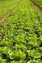Lettuce And Vegetable Field Royalty Free Stock Images - 16785979