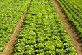 Lettuce And Vegetable Field Royalty Free Stock Images - 16786029