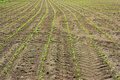 Field Of Row Of Green Young Corn Plant Royalty Free Stock Photography - 16786177