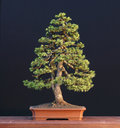 Spruce Bonsai Stock Images - 1684744