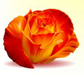 Photo-realistic Fiery Rose Royalty Free Stock Image - 16809946