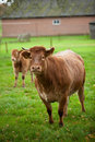Cow And Calf Stock Photography - 16818002