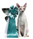 Cornish Rex Cat Sitting Next To A Cup Royalty Free Stock Image - 16821716