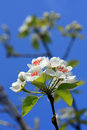 Pear Blossom Royalty Free Stock Image - 16843986