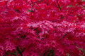 Red Japanese Maple Tree Stock Images - 16861504