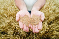Wheat In The Hands Stock Image - 16867991