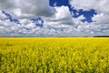 Canola Field Royalty Free Stock Photos - 16881818
