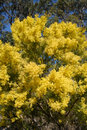 Australian Wattle In Spring With Yellow Flowering Bloom Stock Photography - 1698232