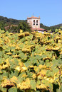 Yellow Sunflowers In The Autumn In Spain Royalty Free Stock Photos - 16956148