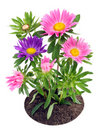 Blossoming  Asters On A Bed Royalty Free Stock Photos - 16971158
