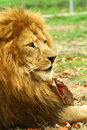 Lion Royalty Free Stock Photography - 16990067