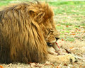 Lion Stock Photo - 16990250
