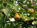 Ripe Pears On Leafy Tree Stock Images - 177344