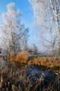 Frosted Birch Trees Royalty Free Stock Image - 1709436