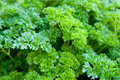 Green Parsley Stock Photos - 17007813