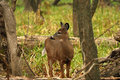 White-tailed Deer Doe Stock Images - 17024324