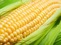 Corn Cob Royalty Free Stock Photo - 17034775