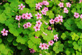 Clover Flower Background Stock Photography - 17048822