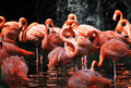 Flamingos Royalty Free Stock Photography - 17098517