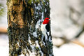 Red Headed Woodpecker Clinging To Tree In Snow Royalty Free Stock Images - 17132709