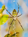 Wasp Spider Royalty Free Stock Image - 17135866