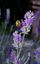 Bee On Lavender Flower Royalty Free Stock Photos - 1720878