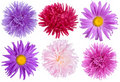 Aster Flowers Set Royalty Free Stock Photo - 17252315