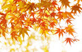 Autumn Maple Leaves Stock Images - 17275664