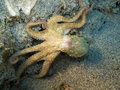 Octopus Stock Photography - 17278302