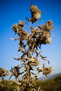 Wild Teasel Stock Images - 1731374