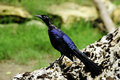 Great Tailed Grackle Royalty Free Stock Image - 17324816
