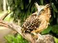 Eagle Owl Royalty Free Stock Images - 17332549