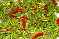 Green And Red Chillies Spice Plants Royalty Free Stock Image - 17372826