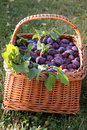 Basket Of Plums Stock Images - 17388374