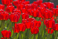 Spring Tulips Impregnated By The Sun Royalty Free Stock Photography - 1745657