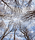 Crown Of Trees With Blue Sky Royalty Free Stock Photo - 17450455
