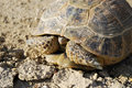 Steppe Tortoise Hiding In The Shell Royalty Free Stock Photography - 17460217