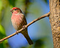 Male House Finch Stock Images - 17487454
