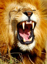 African Lion Yawning Royalty Free Stock Photography - 1751227