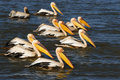 Pelicans Royalty Free Stock Photo - 17527305