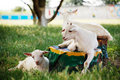 Goats Royalty Free Stock Images - 17532299
