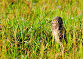 Burrowing Owl Royalty Free Stock Photography - 17577537