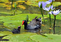 Moorhen In Africa Stock Image - 17587091