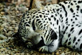 Lying And Sleeping Snow Leopard Royalty Free Stock Photography - 17590377