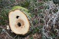 Close Up Of Tree Rings On Felled Stump Royalty Free Stock Photos - 17655608