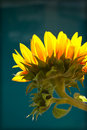 Yellow Sunflower Against Blue Background Stock Photography - 17657272