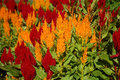 Celosia Flowers Stock Images - 17682974