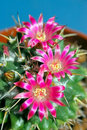 Blooming Cactus Royalty Free Stock Photography - 17708167